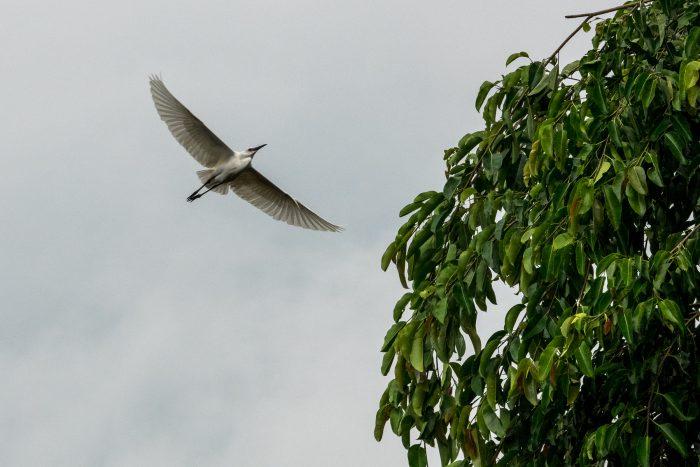 Reiher im Anflug auf Petulu
